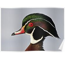 Colours of a Wood Duck Poster