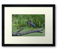 Green Heron wins local fishing contest! Framed Print