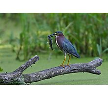 Green Heron wins local fishing contest! Photographic Print
