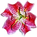 Stargazer Lily Closeup by Susan Savad