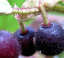 Salal Berries by concha