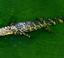 Floating Alligator by Cynthia48
