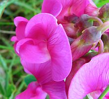 Wild Sweet Pea by Sharon Perrett