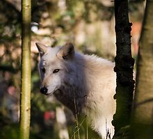 A White Wolf in the Forest by journeysincolor