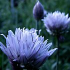 chive flower by DragonflyForest