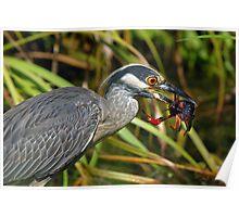 Yellow Crowned Night Heron Eating Crawfish Poster