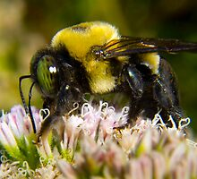 Bumble Bee's are Fuzzy by Terry Best