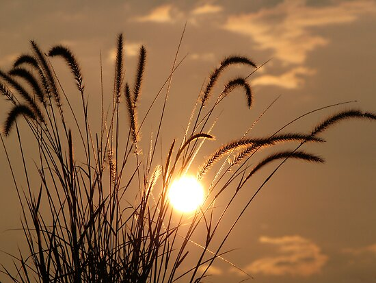 Backlit Grasses by digerati