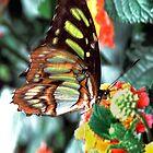 Jay Butterfly by dmiller804