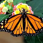 Monarch  by dmiller804
