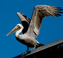 Brown Pelican  by Val Saxby