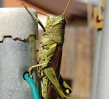 Grasshopper by BiGPaPa