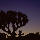 Joshua Tree at sunrise by rudavis