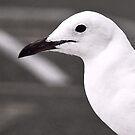 Gull in profile by iamelmana