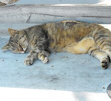 Key West, cute sleeping cat by SlavicaB
