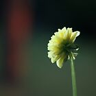 Dahlia in bloom by elisab