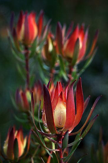 Protea by SD Smart