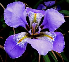 iris II by Tom Newman