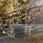 Spanish moss and leaves in rays of light with frost on ground by Nadia Korths