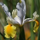 Iris by Sally Haldane