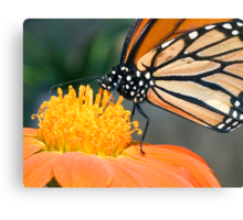 Monarch Butterfly sip nectar from a Daisy flower Canvas Print