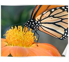 Monarch Butterfly sip nectar from a Daisy flower Poster
