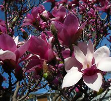 Welcome wagon Magnolias by MarianBendeth