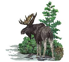 Moose watercolor  Photographic Print