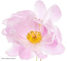Paeonia lactiflora by dirtperminute