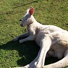 White kangaroo by pierced