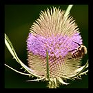 Square: thistle by Sophie Cagnac