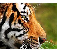 Panthera Tigris Photographic Print