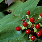 Crimson Berries on Green Leaves by Mark Wilson