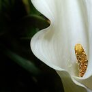 Calla Lily by Bonnie T.  Barry