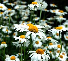 Daisy Patch by Tim Ray