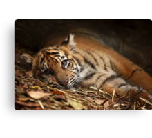 Baby Tiger - Model Canvas Print