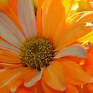 Orange & White Mum by Cheri Perry