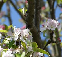 Apple Blossoms by Mary Ellen Tuite Photography