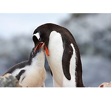 "Gentoo Penguin and Chick ~ ""Meals Home Delivered"" Photographic Print"