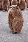 """King Penguin chick ~ """"Mirror Mirror on the wall, who's the........"""" by Robert Elliott"""