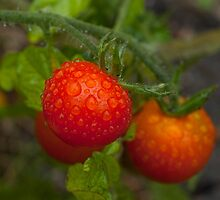 Red Ripe Tomatoes in the Rain by EricHands