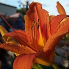Orange Lily by Stephanie Lawrence