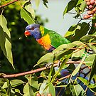 Rainbow Lorikeet by Brent Randall