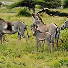 zebra love by nicolette