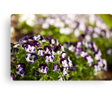 Purple white Viola or pansy variegated flowers  Canvas Print