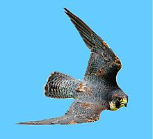 Stooping Falcon by Dave  Knowles