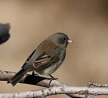 Dark eyed Junco by Gregg Williams