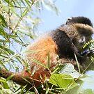 Golden Monkey by Steve Bulford