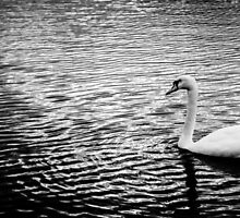 Black and white Swan by Michal Obuchowski