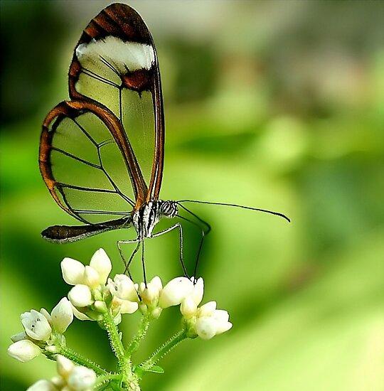 Glasswing Butterfly Visit by Macky